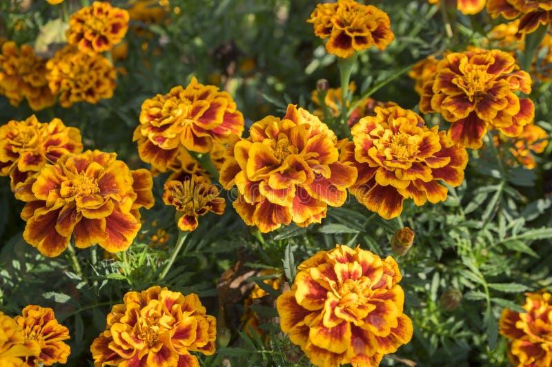 Tagetes patula在绽放,橙黄色花的法国万寿菊,绿色叶子,小灌木 免版税库存图片