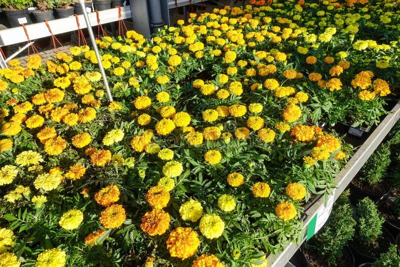 Tagetes patula在绽放,橙黄色花的法国万寿菊,绿色叶子,小灌木 免版税图库摄影