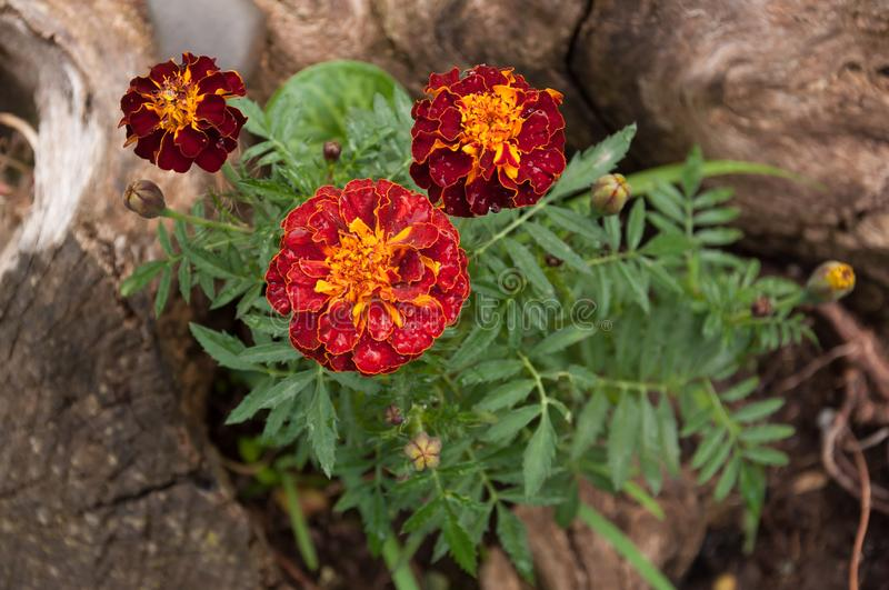 Tagetes patula or dead flower, tagetes erecta. royalty free stock photo