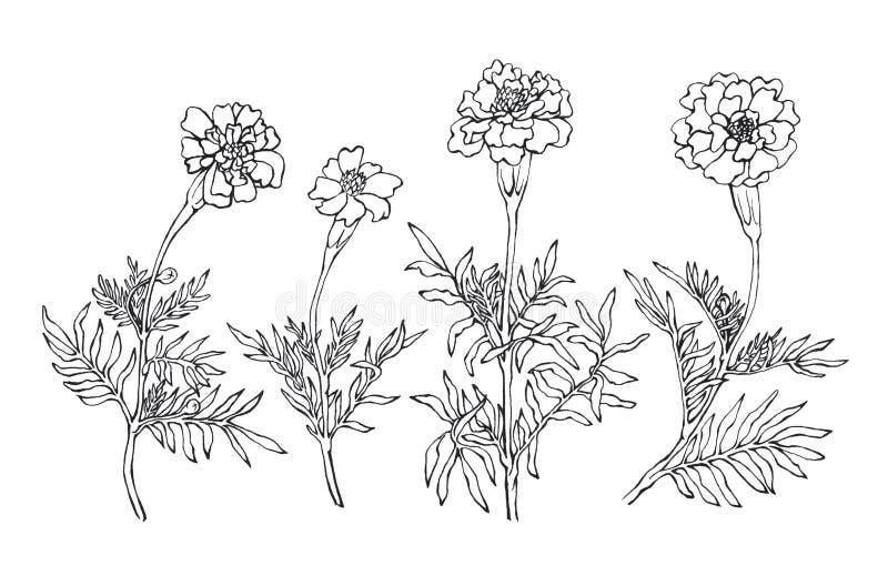 Tagetes patula, den franska ringblomman royaltyfri illustrationer