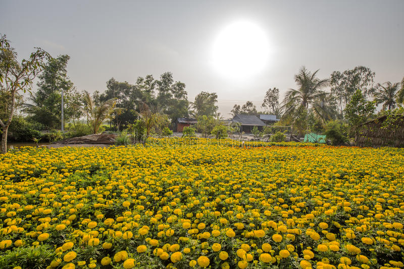 Tagetes patula flower, Phung Hiep floating market at seven-ways crossroads (Nga Bay), Hau Giang. Tagetes patula flower garden of local people in the morning stock photography