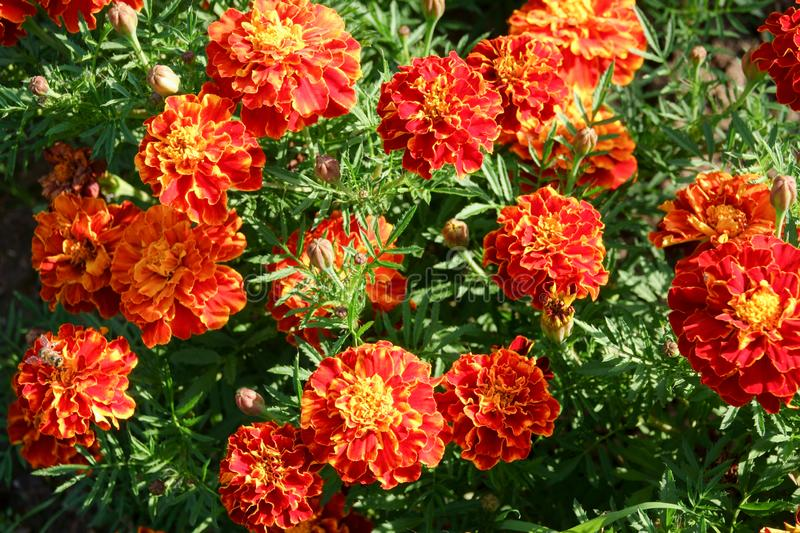 Tagetes patula, flowering plant in the daisy family, shades of yellow and orange stock photography