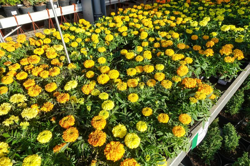 Tagetes patula french marigold in bloom, orange yellow bunch of flowers, green leaves, small shrub royalty free stock photography