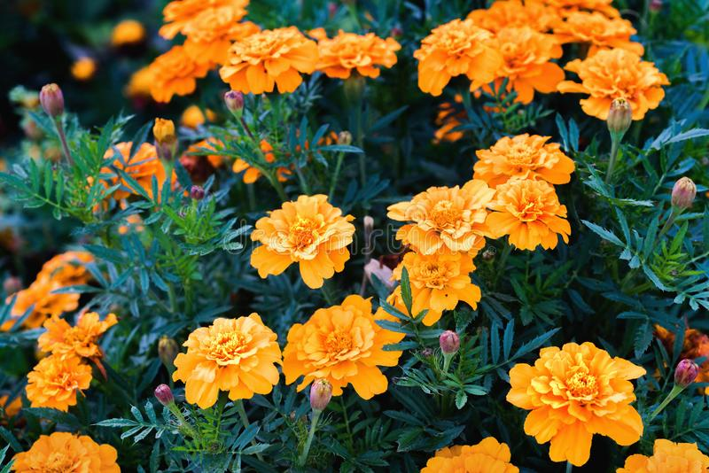Tagetes patula, the French marigold royalty free stock photo