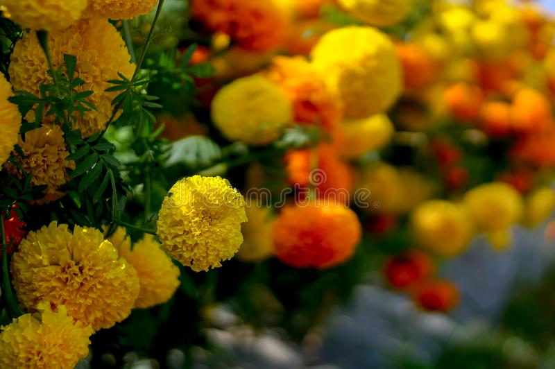 Tagetes patula, the French marigold is a species of flowering plant stock photography
