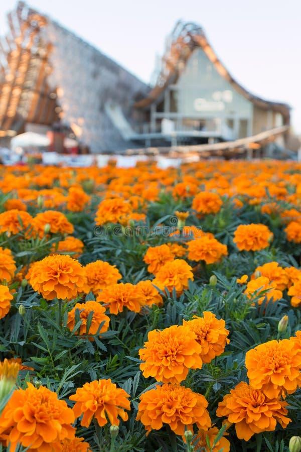Tagetes Patula kwiaty, Pomarańczowi nagietki zdjęcie royalty free