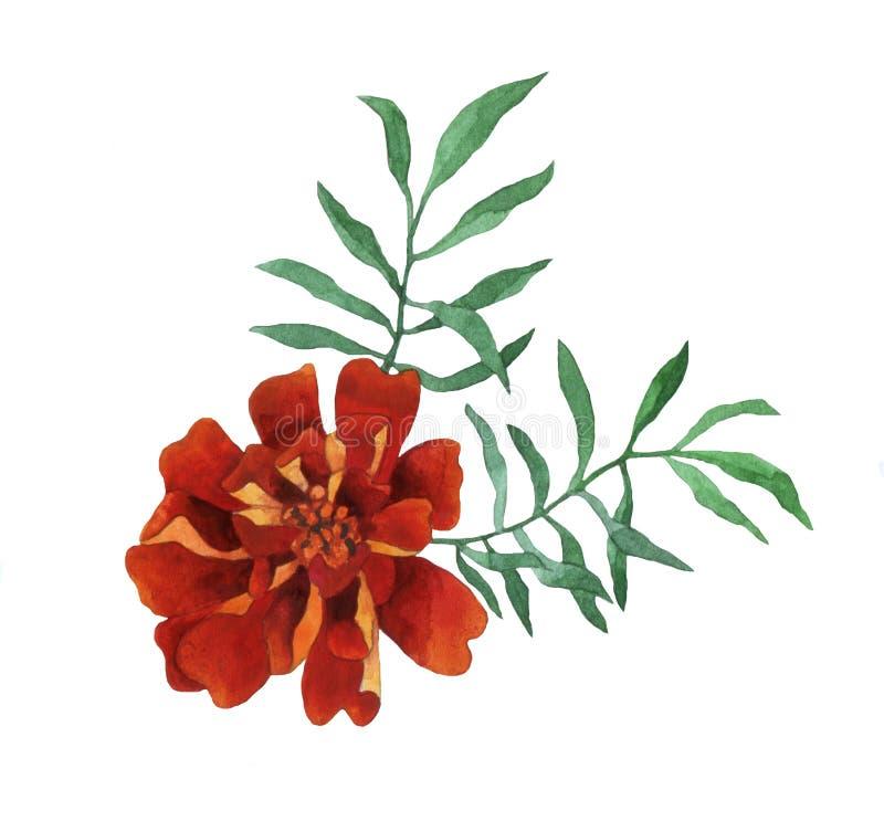 Free Tagetes Patula, The French Marigold. Stock Photography - 77934862