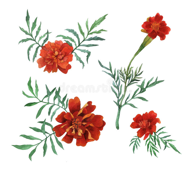Free Tagetes Patula, The French Marigold. Royalty Free Stock Image - 77936326
