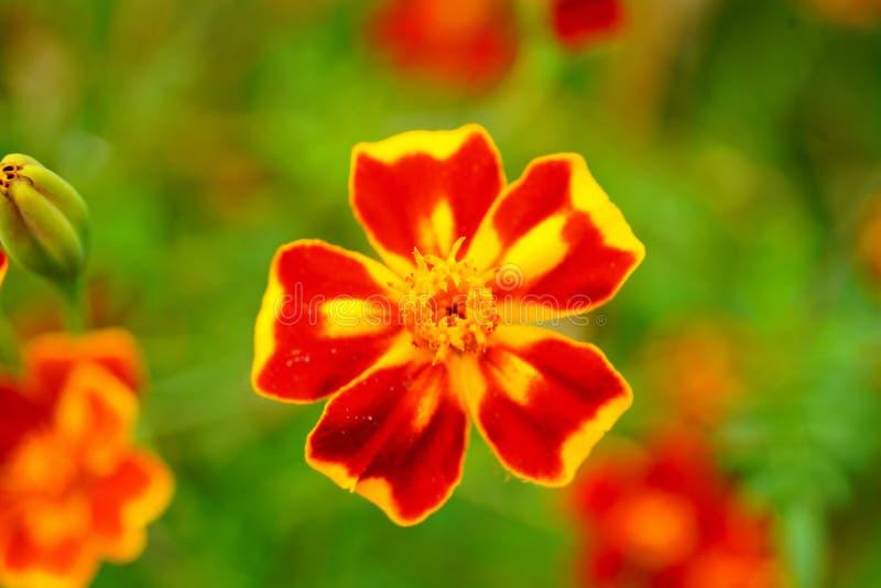 Tagetes, souci dans la fleur images stock