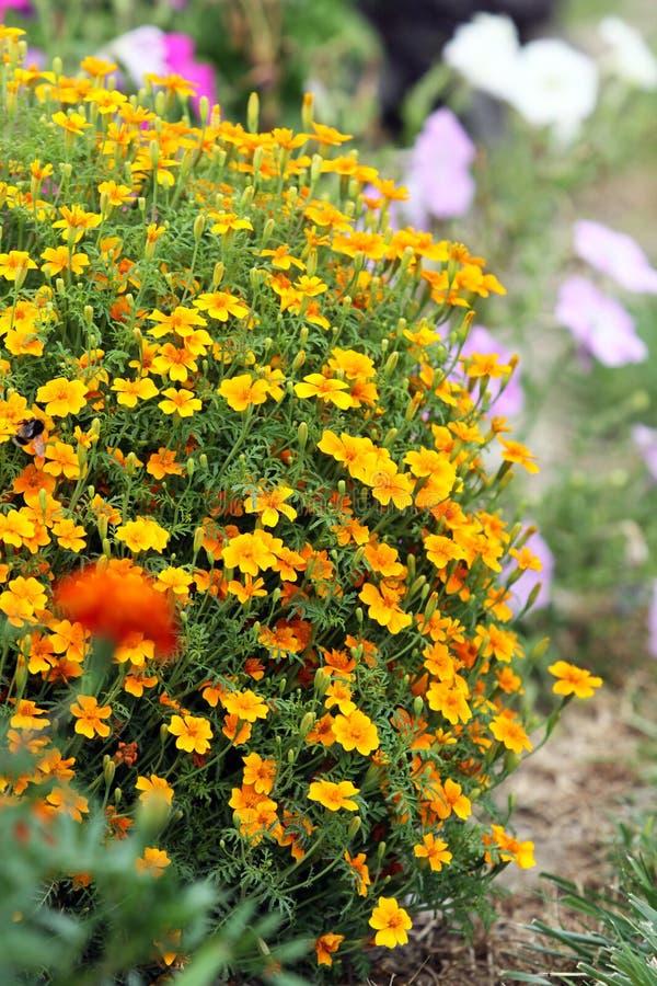 Tagetes tenuifolia signet nagietek lub złoty nagietek, obraz stock