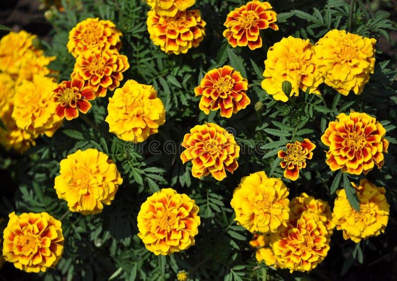 Download Tagetespatula, Franse Goudsbloemen Stock Afbeelding - Afbeelding bestaande uit kleuren, grenzen: 107706363