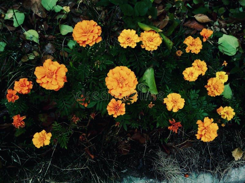 Tageti arancio nell'aiola di autunno fotografia stock