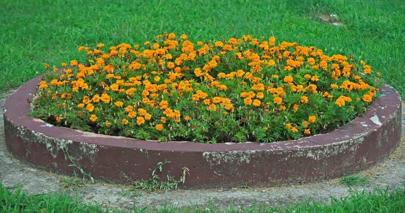 Tageti di fioritura in aiola concreta in parco fotografia stock
