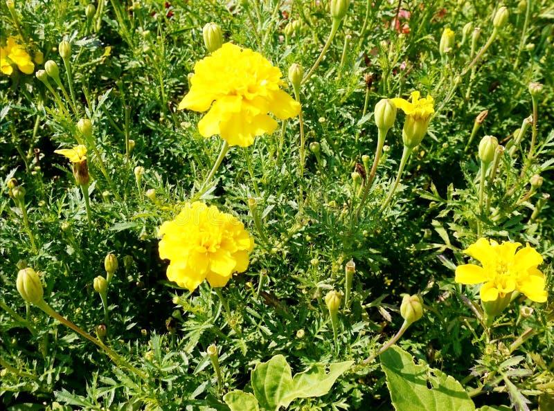 Tageti gialli di fioritura sull'aiola fotografie stock