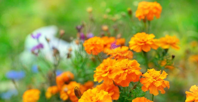 Tagetis цветков осени знамени оранжевые на том основании зацвести в ряд предпосылка выборочного фокуса завода лет естественная за стоковые фото