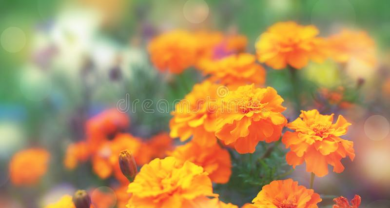 Tagetis цветков осени знамени оранжевые на том основании зацвести в ряд предпосылка выборочного фокуса завода лет естественная за стоковая фотография rf