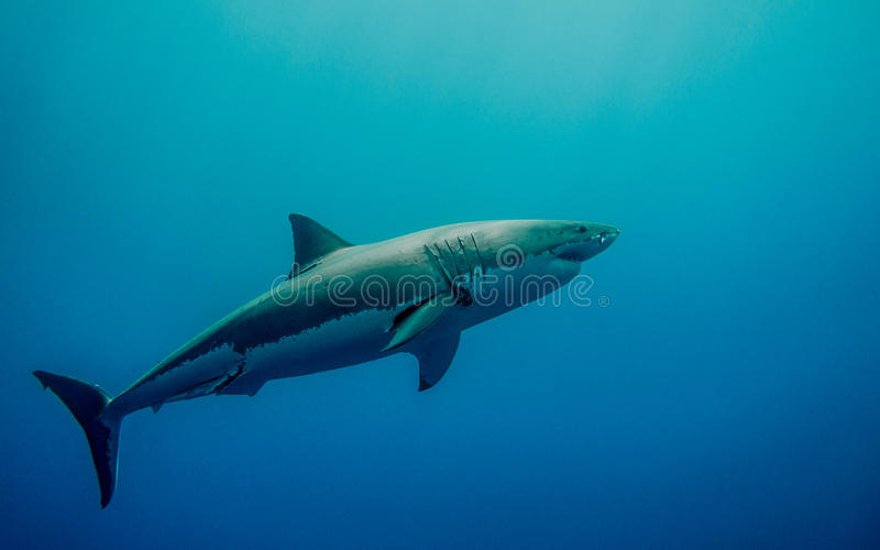 Tagged great white shark in the blue ocean stock image