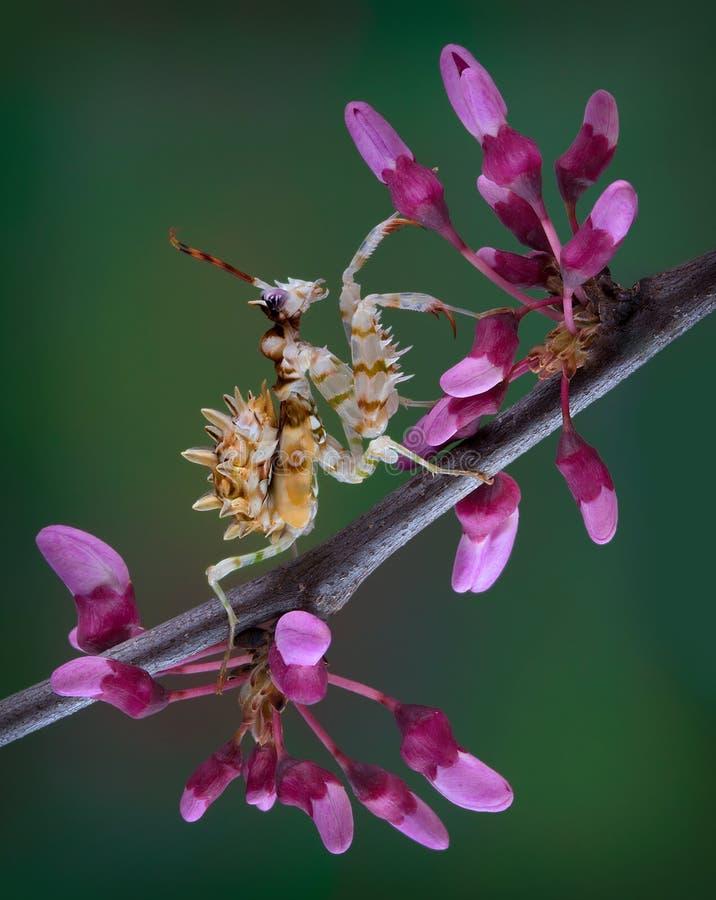 Taggig blommabönsyrsa på att slå ut trädlemmen royaltyfria foton