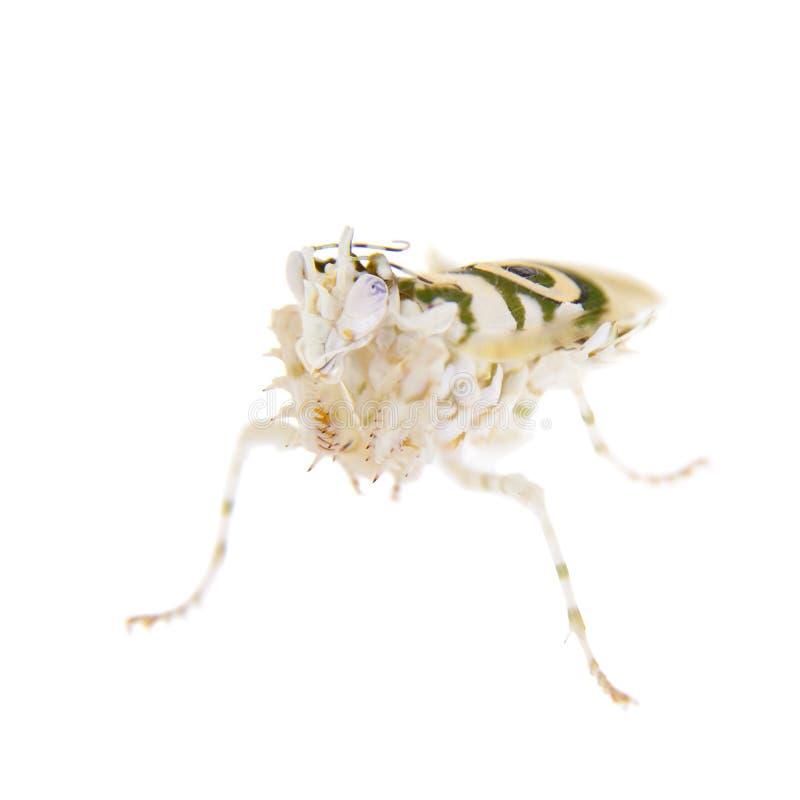 Taggig blommabönsyrsa, Pseudocreobotra wahlbergii, på vitt royaltyfria foton