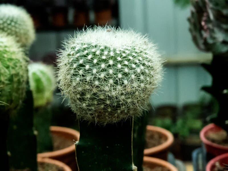 Taggig bollkaktusväxt arkivfoto