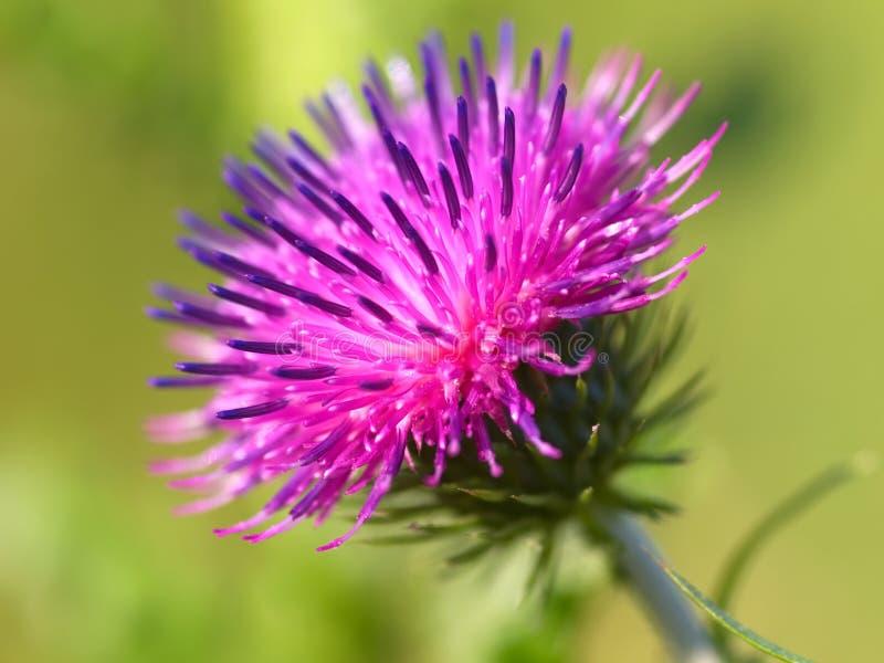 taggig bur-blomma royaltyfri foto