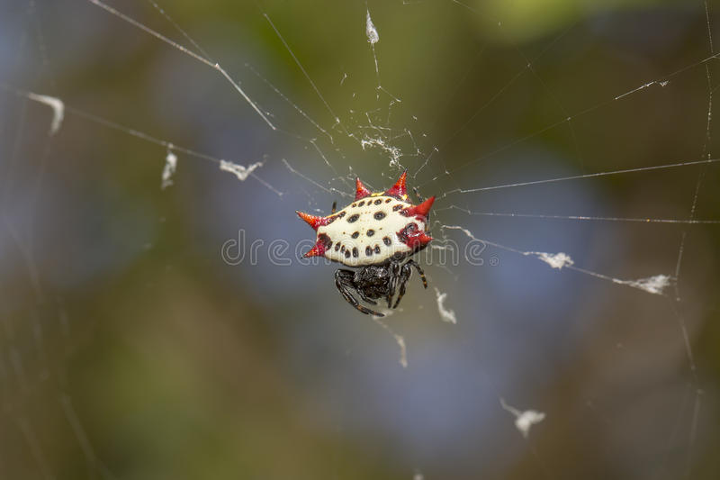 Taggig-dragen tillbaka Orbweaver spindel royaltyfri fotografi