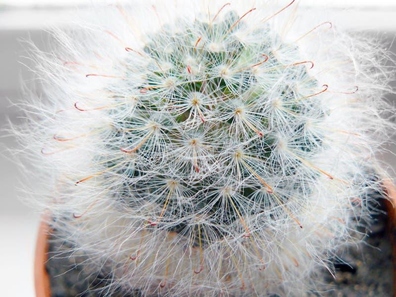 Taggig och päls- kaktus fotografering för bildbyråer
