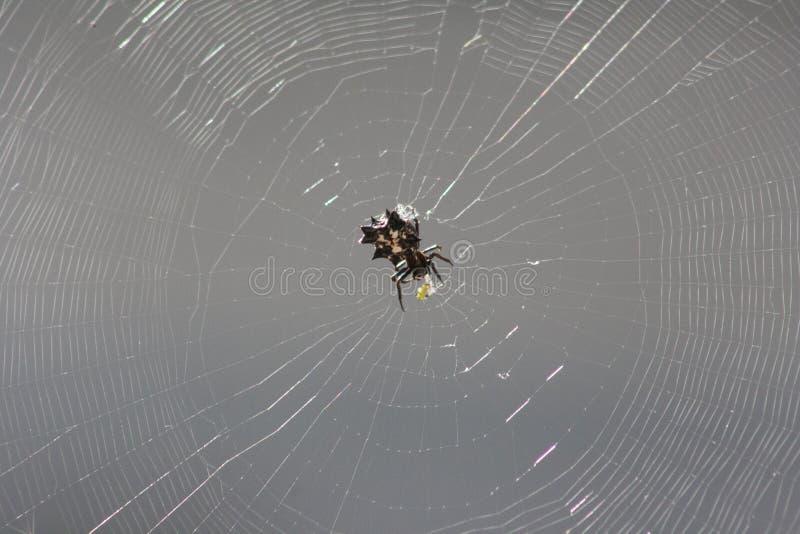 Taggig Orb Weaver Spider royaltyfri foto