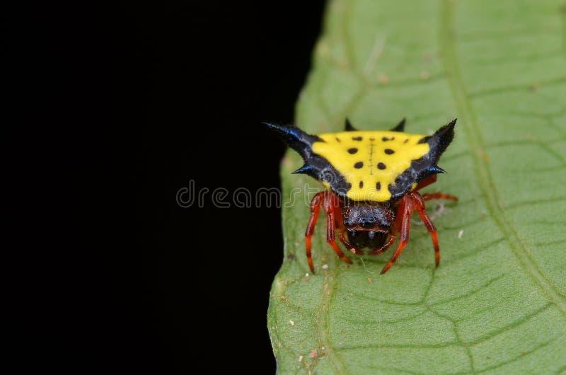 Taggig Orb Weaver Spider fotografering för bildbyråer