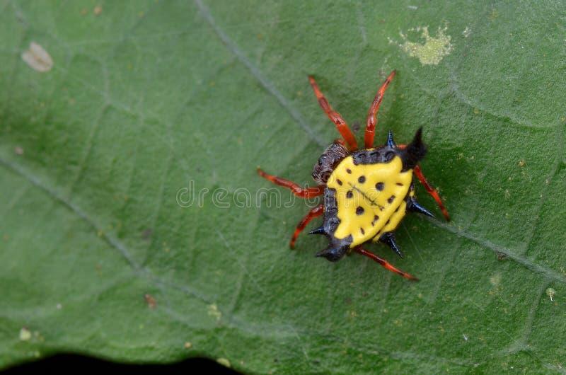 Taggig Orb Weaver Spider royaltyfria bilder