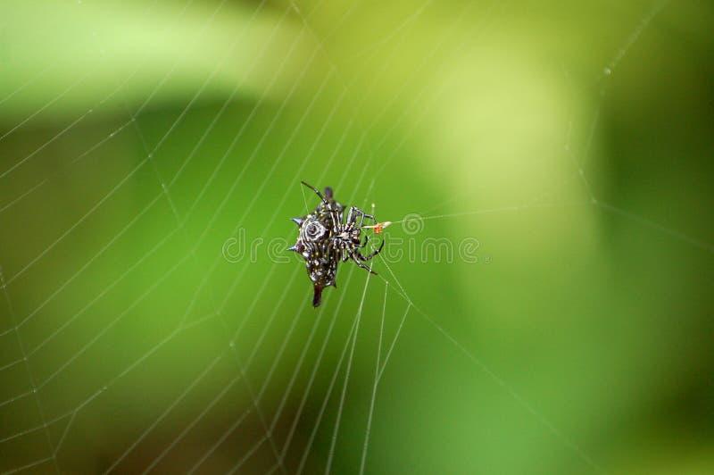 Taggig Orb Weaver Spider på rengöringsduk i den Borneo rainforesten royaltyfria bilder