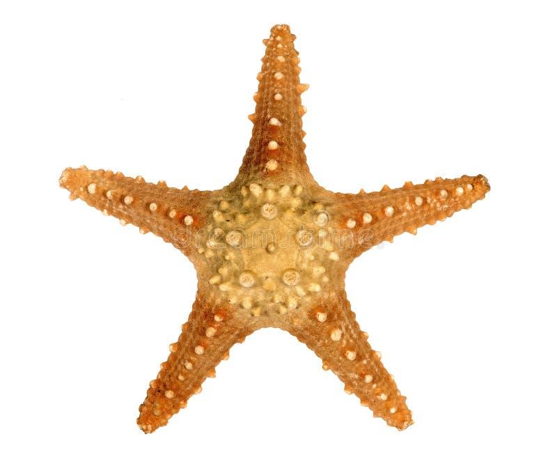 Taggig sjöstjärna som isoleras på vit bakgrund royaltyfria bilder