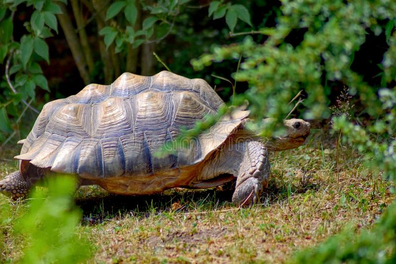Taggig sköldpadda arkivbild