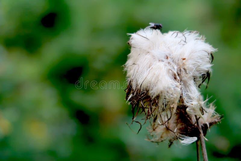 Taggig tistelblomma för förgången blomning med flugan överst av den Closeup med suddig bakgrund kopiera avst?nd f?r din text royaltyfria foton