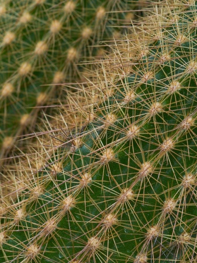 Taggig yttersida av kaktuns, detalj, närbild royaltyfri foto