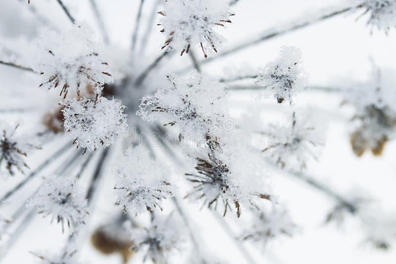 Taggigt gräs som täckas med fluffig snö arkivfoto