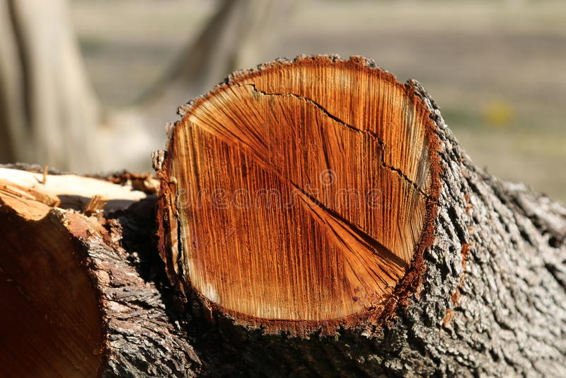 Tagli di recente Cedar Wood immagini stock