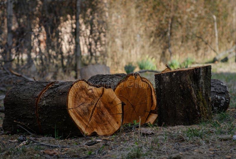 Tagli di recente i ceppi dell'albero immagini stock libere da diritti