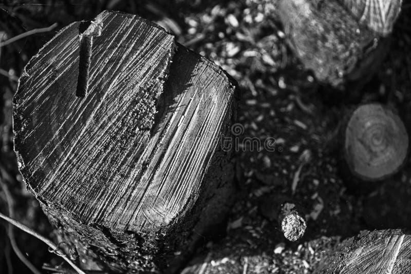Tagli di recente i ceppi di legno sul parco pubblico, ramo secco pulito fotografia stock