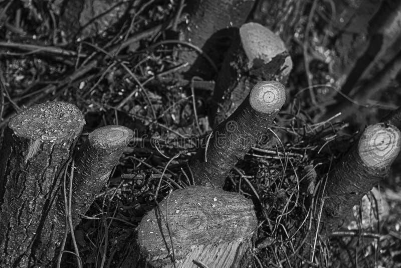 Tagli di recente i ceppi di legno sul parco pubblico, ramo secco pulito fotografia stock libera da diritti
