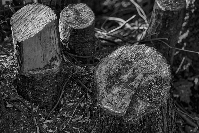 Tagli di recente i ceppi di legno sul parco pubblico, ramo secco pulito fotografie stock libere da diritti