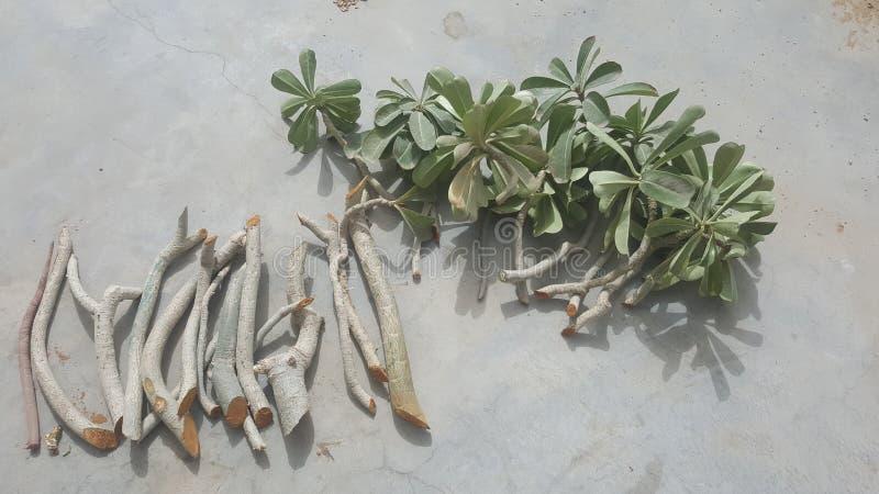Tagli freschi e sani della pianta del adenium pronti per piantare fotografie stock libere da diritti