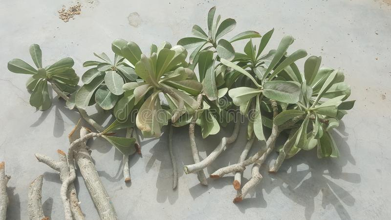 Tagli freschi e sani della pianta del adenium pronti per piantare fotografia stock