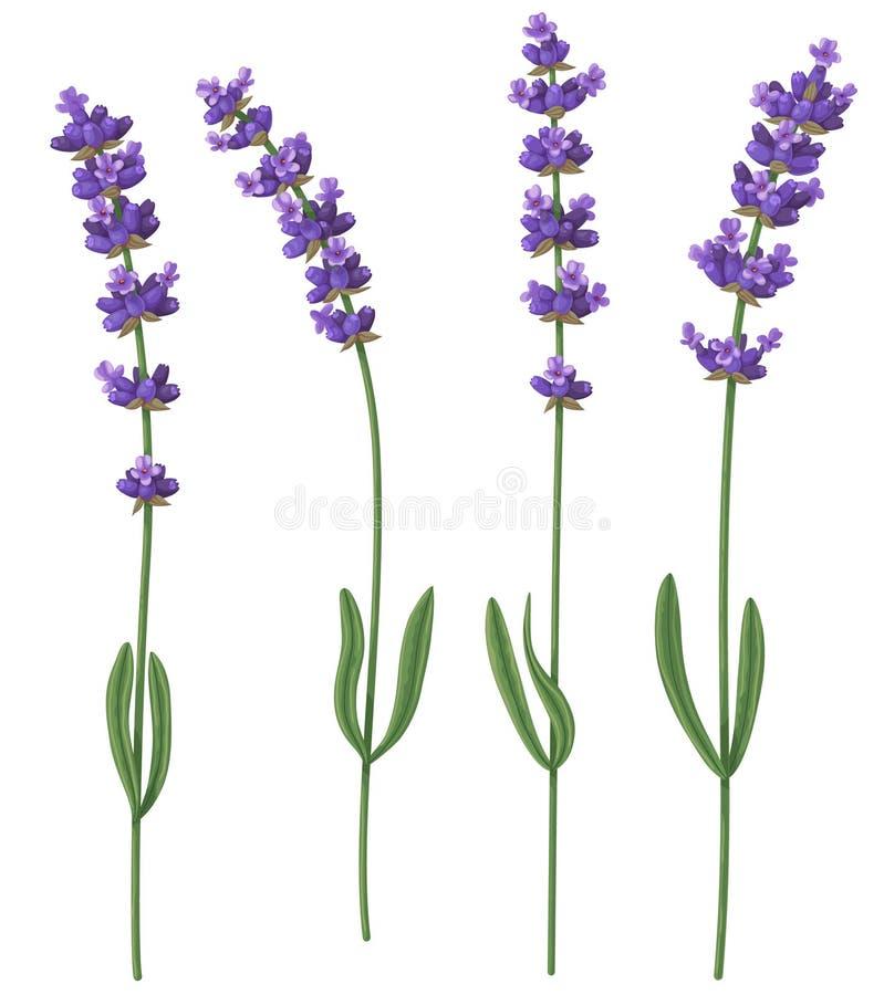 Tagli i fiori fragranti della lavanda illustrazione di stock