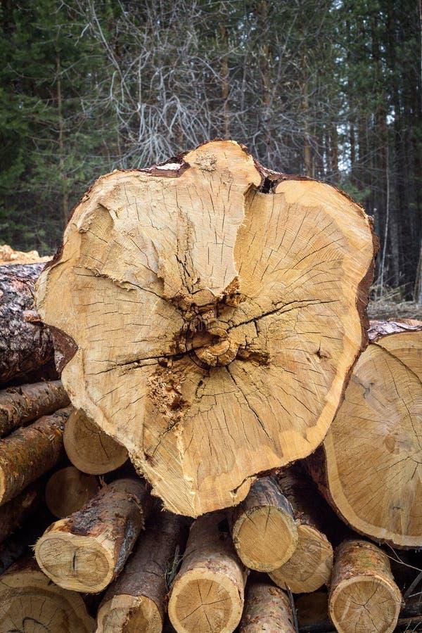 Tagli il pino annotare Anelli annuali sul pino del taglio immagine stock