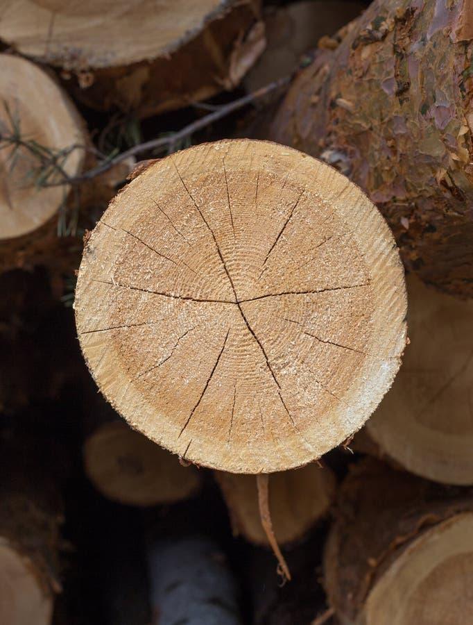 Tagli il pino Registrazione numerata Anelli annuali sul pino del taglio I ceppi hanno visto fotografia stock