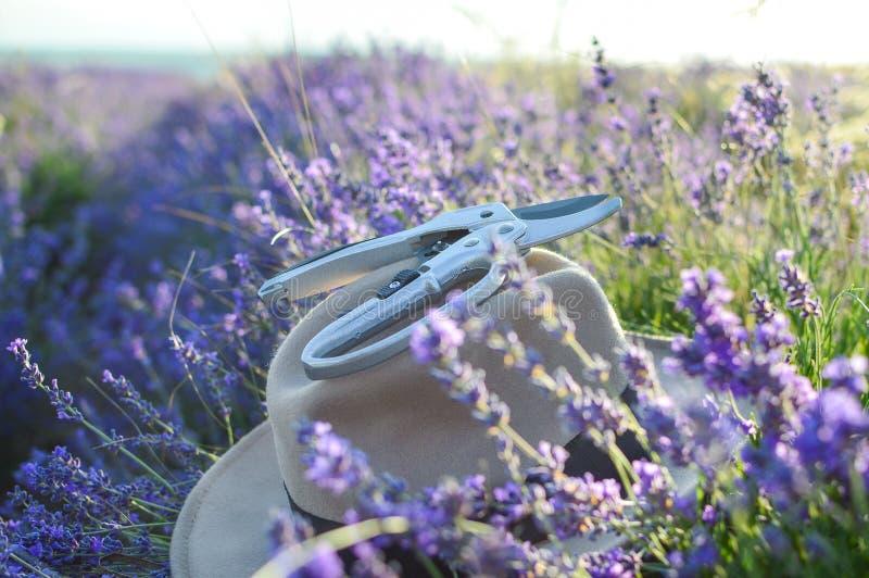 Tagli le inflorescenze asciutte della lavanda e un pruner del giardino Bello cappello Estate fotografia stock