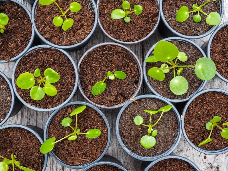 Tagli propagati multipli della pianta del pancake in vasi di plastica neri fotografie stock