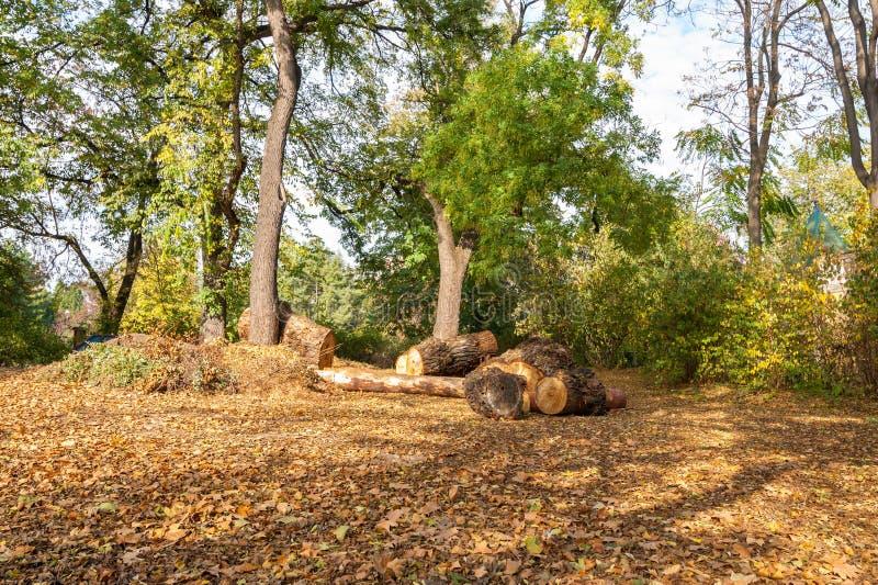 Taglia legna dell'albero tagliato sulla terra con le foglie di autunno gialle nel parco fotografia stock libera da diritti