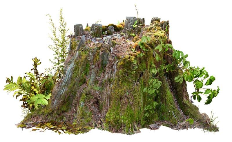 Tagliare la massa dell'albero Mossy trunk immagini stock